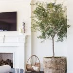 Olive Trees Are the New Fiddle FIg