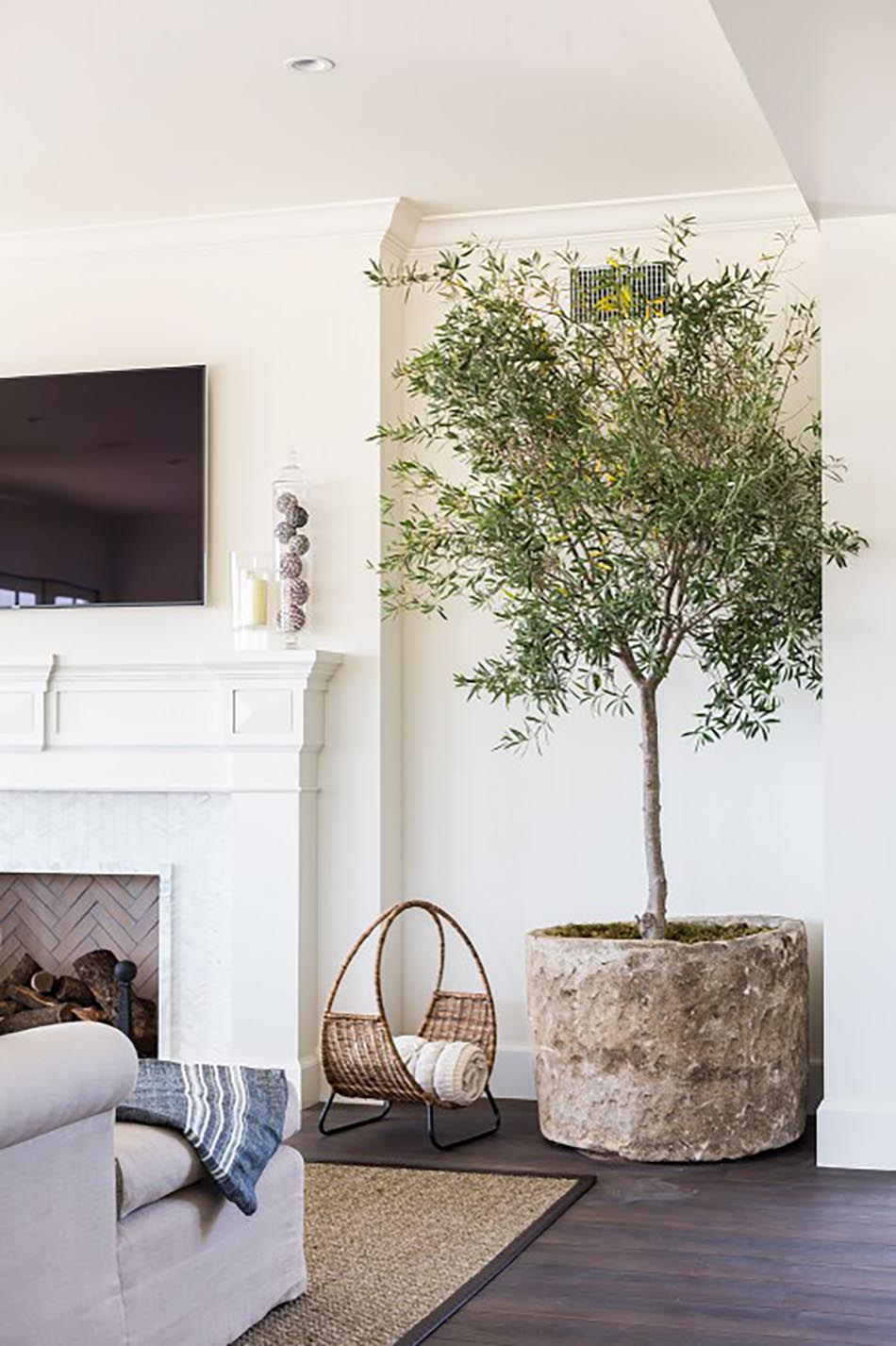 Indoor Olive Trees: interior design plants inside house